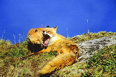 Red fox, vulpes vulpes. Mother yawning; young cub looking into mothers mouth