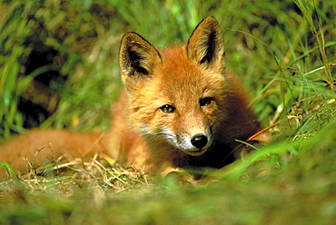 Red fox, vulpes vulpes. Portrait of young cub. Summer .
