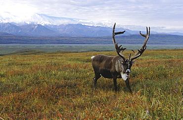 Caribou, rangifer tarandus. Male/ bull in tundra; usa, alaska (alaska range in background)