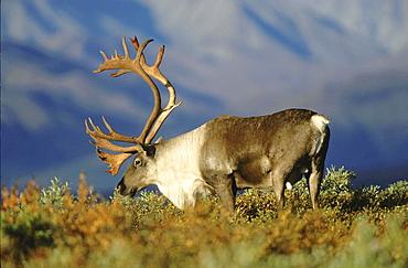 Caribou, rangifer tarandus. Male/ bull in tundra; usa, alaska (alaska range in background) .