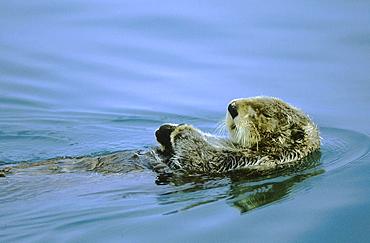 Sea otter, enhydra lutris. Swimming; lying on its back; summer; .