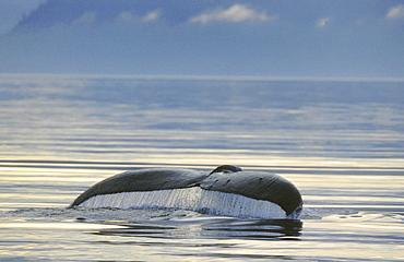 Humpback whale, megaptera novaeangliae. Fluke
