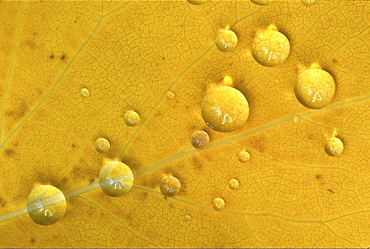Birch tree. Birch tree leaf in autumn colour; with raindrops; close up