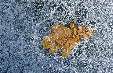 Oak tree leaf. Close-up of leaf under a lear of ice