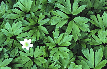 Wood anemone, anemone nemorosa. One flower amongst lots of leaves; spring