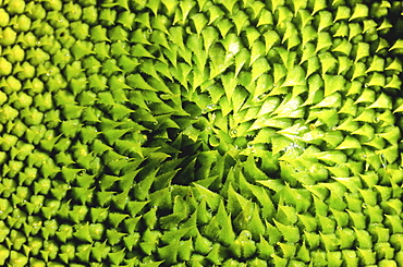 Sunflower, helianthus annuus. Close up of the centre of the sunflower in spring