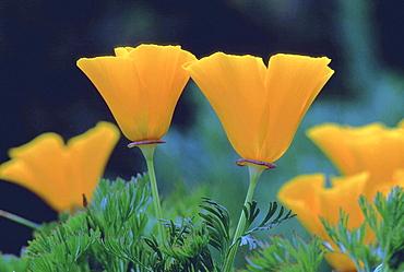 Californian poppy, eschscholtzia californica. Spring