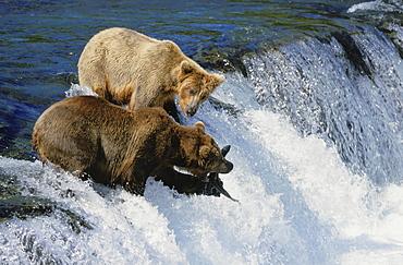 Brown bear. Ursus arctos. At waterfall / brooks falls. Catching leaping sockeye salmon in summer. Katmai n.p, alaska, usa
