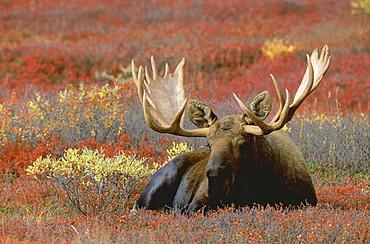Moose. Alces alces. Bull standing in tundra, in autumn. Denali n.p, alaska, usa