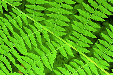Bracken fern, pteridium aquilinum, valley, olympic national park, washington