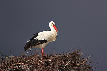 White stork, stork, ciconia ciconia, weissstorch, storch, female standing in its nest, spring, oetwil am see, zuerich, switzerland