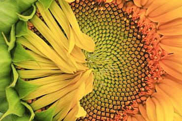 Sunflower, helianthus annuus, in summer, switzerland