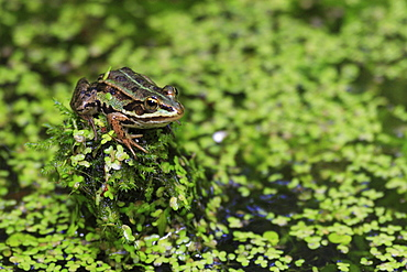 Common pool frog, water frog, rana esculenta, spring, on treestump, oetwil am see, zuerich, switzerland