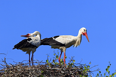 White stork, stork, ciconia ciconia, weissstorch, storch, couple standing in its nest, courtship, spring, oetwil am see, zuerich, switzerland