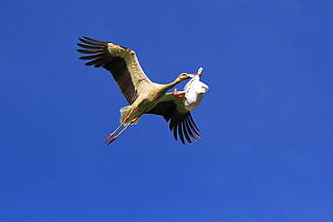 White stork, storch, ciconia ciconia, with baby in its beak, bringing offspring, baby child, digital composition