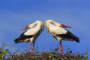 White stork, stork, ciconia ciconia, couple standing in its nest, courtship, spring, oetwil am see, zuerich, switzerland