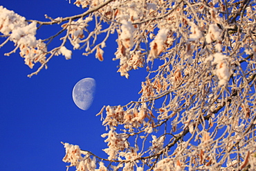 Moon rise over forest in winter time, switzerland