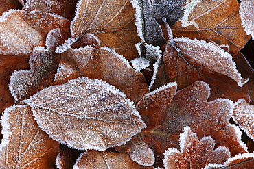 Beech leaves, beech tree, fagus sylvaticia l., covered in hoarfrost, switzerland