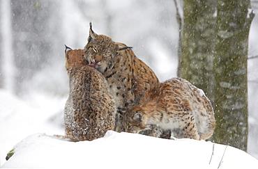 European lynx, lynx lynx, family in winter, national park bayrischer wald, germany, captiv