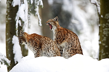 European lynx, lynx lynx, in winter, national park bayrischer wald, germany, captiv