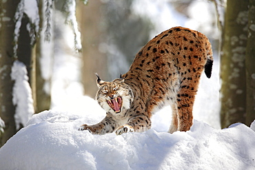 European lynx, lynx lynx, female adult, in winter, national park bayrischer wald, germany, captiv