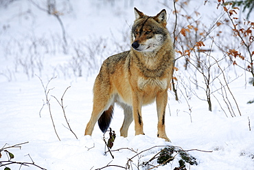 European wolf, wolf, canis lupus lupus ,adult, in winter, national park bayrischer wald, germany, captiv