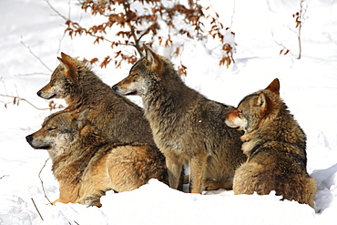 European wolf, canis lupus lupus, family, in winter, national park bayrischer wald, germany, captiv