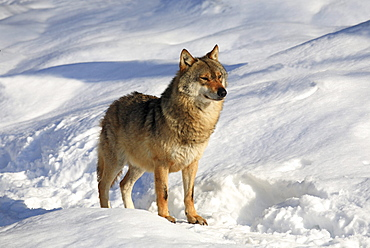 European wolf, wolf, canis lupus lupus, adult, in winter, national park bayrischer wald, germany, captiv