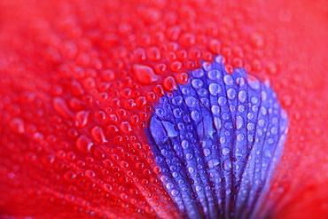 Red poppy / corn poppy, papaver rhoeas, spring, tuscany, italy