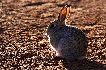 Desert cottontail rabbit, sylvilagus audubonii, in the dessert of arizona, portrait of sitting animal, page, arizona, usa