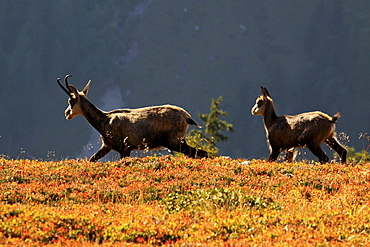 Alpine Chamois, Gaemse, Gemse, Rupicapra Rupikapra, female, Bernese Oberland, Bern, Switzerland