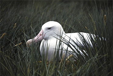 Wandering albatross. Diomedea exulans. On nest, albatross island, south georgia diomedea exulans