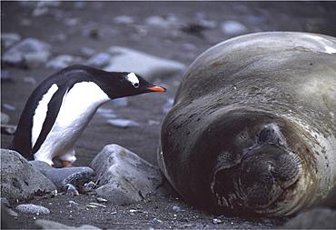 Southern elephant seal. Mirounga leonina. Gentoo penguin (pygoscelis papua papua) pecks seal. South shetlands
