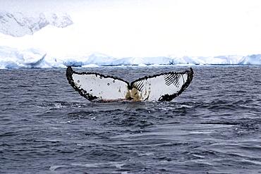 Humpback whale. Megaptera novaeangliae. Tail fluke. Wilhelmina bay, antarctica