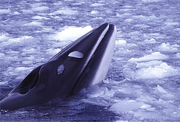 Minke whale. Balaenoptera acutorostrata. Minke whale in brash ice, danko bay, antarctica