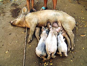 El salvador piglets feeding from their mother pig, san francsisco javier