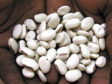 Zambia jack beans, soil fertilizer and base for paint making