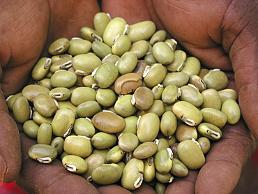 Zambia green velvet beans, help promote soil fertility & edible if prepared
