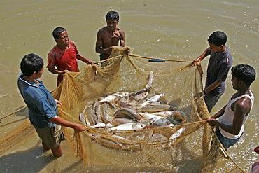 Bangladesh fish caught at a fish hatchery employing scientific methods at haluaghat, mymensingh region