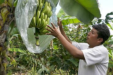 BOLIVIA ECOTOPS projects in Alto Beni. ECOTOPS technician Fortunato Velasquez Marca examining bananas at a farm in Communidad Los Palmeroa