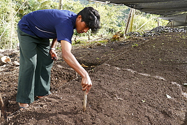 BOLIVIA Plant for processing medicinal and aromatic herbs, Chizchipani, Caranavi. The project of FUNDAWI.Cuttings being planted in the nursery