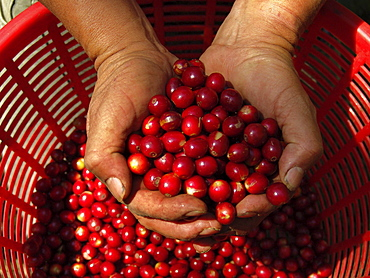 Guatemala ripe coffee beans
