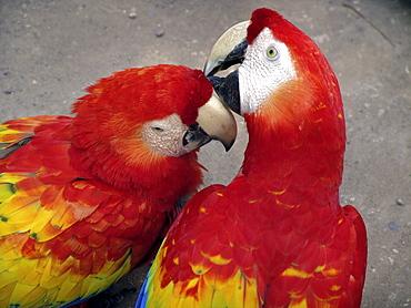 Honduras tame macaws at copan ruins