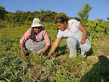 BOLIVIA Cultivating estevia which is a natural sweetener, good for diabetes, in Santa Fe, Caranavi