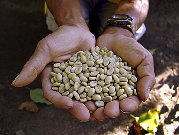 Nicaragua a handful of organic coffee beans, jalapa