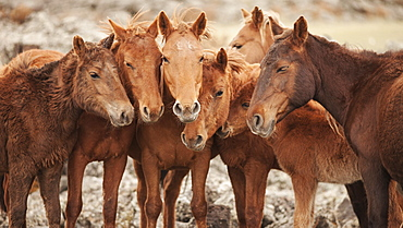 Semi-wild Mongolian horses keeping close in the Mongolian steppes, Mongolia, Central Asia, Asia