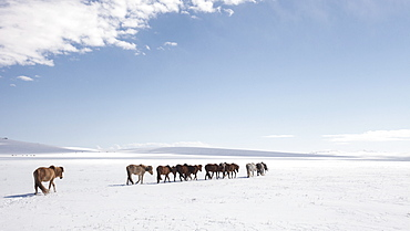 A herd of horses walks on the frozen lands of Mongolia, Central Asia, Asia - 1195-120