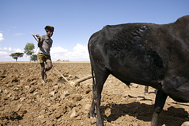 Example of farming activity in the area of hanamerant, meket, ethiopia.The Farmers have to fight against the lack of rain and erosion of the soil. They produce 1 crop a year wich sustain food a couple of months only