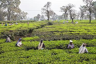 Tea garden in Silliguri, Sikkim, India, Asia