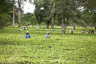 Tea Garden in Dibrugarh, Assam, India, Asia